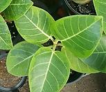 벵갈고무나무|