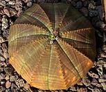 오베사 3417|Baseball Plant (Euphorbia obesa)