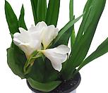 후리지아(흰색꽃) 