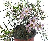 왁스플라워(핑크색꽃) Echeveria agavoides Wax