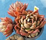 소후렌79|Echeveria agavoides Prolifera