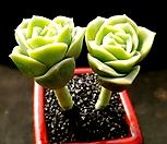 러블리로즈 2두군생-82|Lovely Rose