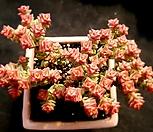 희성금 한몸군생-43|Crassula Rupestris variegata