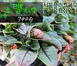 소렐(Garden sorrel) 모종 700원 서울육묘생산 정품모종|
