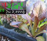 적로메인상추 모종 7개(2000원) 서울육묘생산 정품모종|