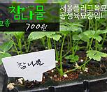 참나물(칸토미쓰바) 모종 700원 서울육묘생산 정품모종|