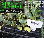 청콜라비모종 3개(1000원) 서울육묘생산 정품모종|