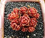 환엽롱기시마 7두자연군생-25|Echeveria longissima