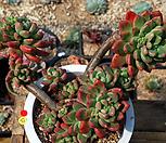 묵은패러독스군생(대품) Pachyveria cv. Paradoxa