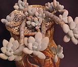 묵은성미인(한몸)|Pachyphytum oviferum