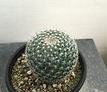 옹옥 선인장 (실생)|Haworthia truncata
