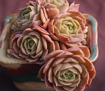 묵은온슬로우|Echeveria cv  Onslow