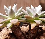 화이트그리니목대|Dudleya White gnoma(White greenii / White sprite)