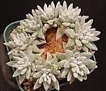 화이트그리니(목대자연군생) 28-313|Dudleya White gnoma(White greenii / White sprite)