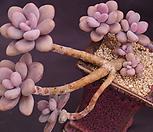 묵은아메치스(한몸)|Graptopetalum amethystinum