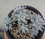 화이트그리니11두(자연군생목대좋음)|Dudleya White gnoma(White greenii / White sprite)