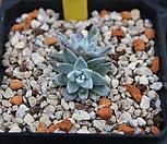 화이트그리니2두|Dudleya White gnoma(White greenii / White sprite)