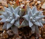 화이트그리니묵은둥이 320-1500|Dudleya White gnoma(White greenii / White sprite)