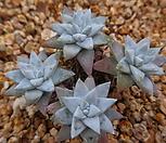 화이트그리니묵은목대 320-1789|Dudleya White gnoma(White greenii / White sprite)