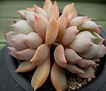 핑크피치 3-585 