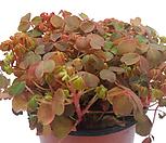 애기사랑초(붉은색) 