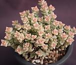 묵은희성금|Crassula Rupestris variegata