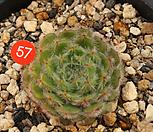 왕비금사황(318-57)|Echeveria setosa Hybrid