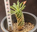 괴마옥(318-65)|Euphorbia hypogaea