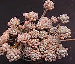 블루빈스(합식) Graptopetalum pachyphyllum Bluebean