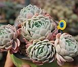 라즈베리아이스한몸자연군생-묵은둥이84|Echeveria Rasberry Ice