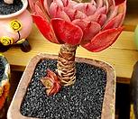 브라비안트 (독일롱기시마) 목대|Echeveria longissima