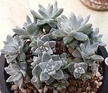 화이트그리니묵은목대(20두가 넘네요)|Dudleya White gnoma(White greenii / White sprite)