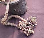 묵은자려전|Pachyveria oviferum cv . shireiden
