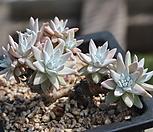 화이트그리니 묵은둥이 68|Dudleya White gnoma(White greenii / White sprite)