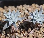 화이트그리니 묵은둥이 60|Dudleya White gnoma(White greenii / White sprite)