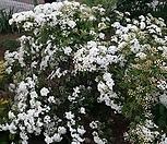 장미조팝나무|