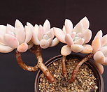 오팔리나(목대) Graptoveria Opalina