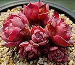라우렌시스 10두자연군생 3-639 Echeveria Laulensis