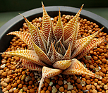 화이트스파이더 3-652 Haworthia attenuata