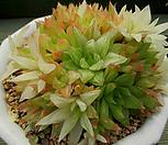 경화금 자연군생대품 3-660 Haworthia cymbiformis f. variegata