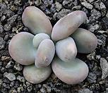 달마미인|Pachyphytum oviferum