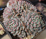 크라시엔라이언|Echeveria Chrissy N ryan