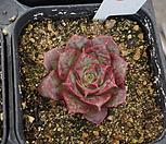 (3月)롱기시마벨바라57 Echeveria longissima