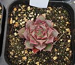 (3月)롱기시마벨바라62 Echeveria longissima