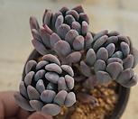 (3月)동미인78|Pachyveria pachyphytoides Walth