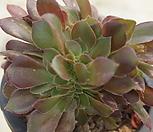 (3月)캐시미어철화13 Aeonium Velour
