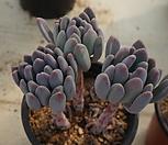 (3月)동미인70|Pachyveria pachyphytoides Walth