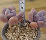 홍미인한몸|Pachyphytum ovefeum cv. momobijin