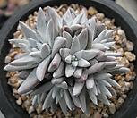 화이트그리니(10두)0323-2|Dudleya White gnoma(White greenii / White sprite)