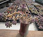 월미인(묵은왕대품한몸)0323|Pachyphytum oviferum Tsukibijin